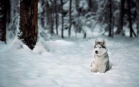 siberian husky wallpaper. Wonderful Siberian 1920x1200 Siberian Husky Wallpaper 27781  Download Playing  And Husky Wallpaper
