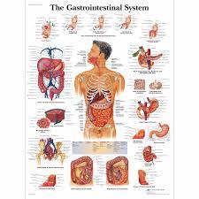 The Gastrointestinal System Chart Human Anatomy Chart