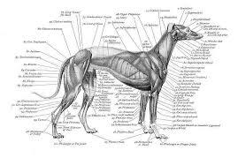 Charts On Greyhound Anatomy Awesome Paws Camp Greyhound