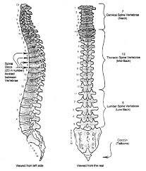skeletal spine diagram   aof comgallery of skeletal spine diagram