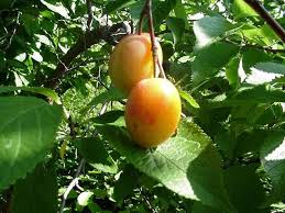 Native Trees For Missouri LandscapesFruit Trees For Central Texas