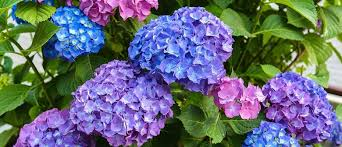 FAQs Hydrangeas - Palmers Garden Centre