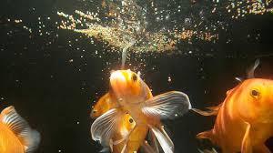 Goldfish Feeding Chart How Much Often Should You Feed Fish Aquarium Care