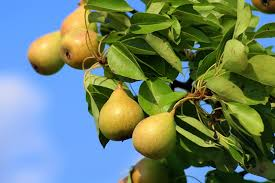 Moonglow Pear Pollination Chart Growing Pears The Complete Guide To Plant Care And