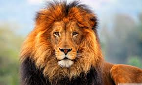 lion wallpaper hd widescreen. Brilliant Widescreen HD  For Lion Wallpaper Hd Widescreen Wallpapers Wide