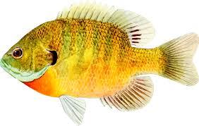 fish 8 fish hd png
