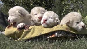 newborn white lion cubs. Perfect Newborn Itu0027s A Pretty Amazing Coincidence That The Two Female And Male Cubs  Were Born On World Lion Day Their Parents Brought From South Africa To Taigan  To Newborn White Cubs