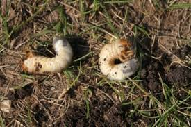 Dealing With Lawn Grubs Grub Research Pest Control Insecticides