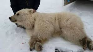 grolar bear size polar bears and grizzlies mating and you can guess why news