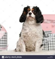 cavalier king charles sitting with tree and gifts in front of white background