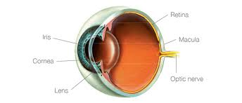 this eye diagram shows you where the macula is inside the eye it s is a condition that afects the macula the tiny central part of the retina at the back