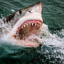 pictures of great white sharks eating people. Unique Pictures Great White Sharks Eating People  Petrifying Moment Six Maneating Sharks  Surround Small  Intended Pictures Of T
