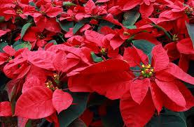 Weihnachtsstern Wieder Zum Blühen Bringen Plantura