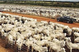 Resultado de imagem para Brasil criação de gado com drones