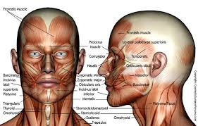 face anatomy human face anatomy anatomy of human face muscle anatomy of the face