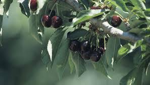 NameThatPlantnet Drupe ImagesGreen Fruit Tree Identification