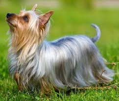 silky dog. silky terrier dog breed l