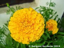 they are very much used in making garlands make excellent beds and pot decorations