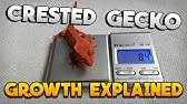 Stunted Growth Loss Of Appetite Crested Gecko Youtube