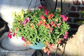 a snapdragon hanging basket at garden center merrifield s