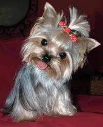 baby yorkshire terrier. Contemporary Baby The Common Approach To Education And Training Of Yorkie Puppies Without  Taking Into Account Their Individual Characteristics Will Not Only Be Ineffective  On Baby Yorkshire Terrier R