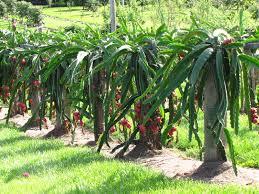 Google Image Result For Httpdragonfruitbizfiles201205 Dragon Fruit On Tree