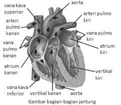 Darah dari seluruh tubuh dan kembali ke jantung banyak mengandun g. Ringkasan Dan Latihan Soal Un Ipa Smp Materi Sistem Peredaran Darah