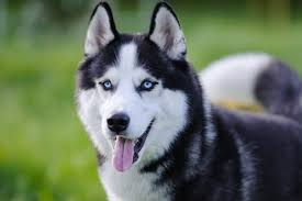 7 husky mi that don t shed healthy