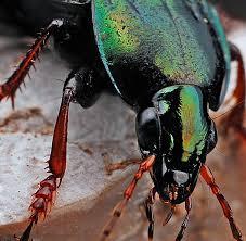 exterminator bronx ny. Unique Bronx Beetle Pest Control Exterminators New York City NYC Manhattan Bronx  Brooklyn Long Island Midtown Columbus To Exterminator Ny R