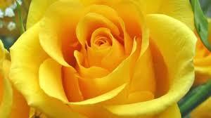 Imagini pentru trandafiri galbeni