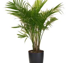 ... Large-size of White Majesty Palm Most Houseplants Costa Farms in Indoor  Palm Plants ...