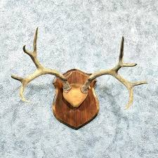 deer rack mount mule antler the taxidermy horns on board 2 mounted antlers for whitetail deer rack mount antler