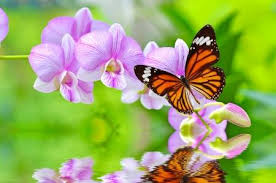 real beautiful colorful butterflies. Exellent Real A Beautiful Colorful Butterfly On Orchids Flowers In Water Stock Photo   17848166 In Real Beautiful Colorful Butterflies E
