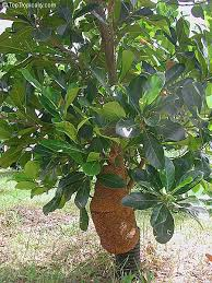 TopTropicalscom  Rare Plants For Home And GardenFull Size Fruit Trees For Sale