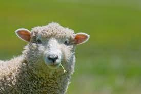 كيف تختار خروف العيد المناسب؟ - جريدة الغد