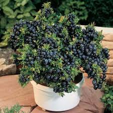 blueberry in pot