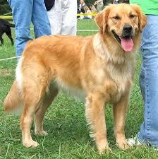 gold golden retriever. Delighful Golden Gold Golden Retriever Dog Sporting Breeds Online On D