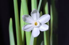 White Paper Flower Bulbs Paperwhite Bulb Reblooming How To Get Paperwhites To