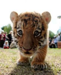 cute baby tigers wallpapers. Modren Wallpapers Little Tigers Images Baby Tigers Wallpaper And Background Photos For Cute Wallpapers