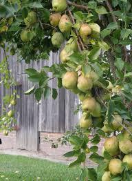 Persian Lime Citrus X Latifolia In Greensboro High Point Winston Fruit Tree Nursery North Carolina