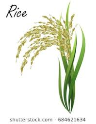 rice plant drawing. Perfect Plant Rice Oryza Sativa Asian Rice Hand Drawn Realistic Vector Illustration  Of Rice Intended Plant Drawing E
