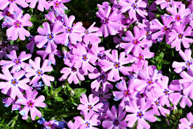 early spring perennials. Brilliant Perennials Phlox S Fort Hill  Copy To Early Spring Perennials L