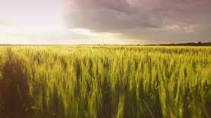 Summer Landscape Field Wheat Nature Sunset Plant Agriculture Green