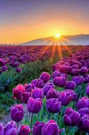 best nature photos ideas beautiful nature  sunrise over the mountains onto the beautiful rows of purple tulips tap the link to see the newly released collections for amazing beach bikinis
