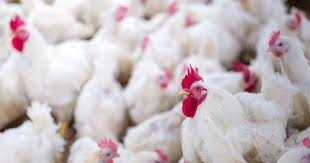 Chicken Disease Chart Research Analysis And Best Practice Resources On Poultry