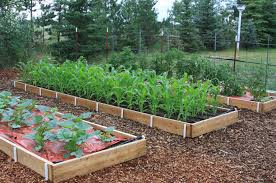 the newest additions to the mulvihill garden include three large raised beds and a drip irrigation