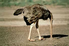 featherless ostrich. Fine Ostrich Ostriches Belong To A Striking Group Of Flightless Birds Known As Ratites  That Also Includes Emus Cassowaries Rheas And Kiwis For Featherless Ostrich T