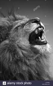 lion roaring black and white.  Roaring Lion  Stock Image Intended Lion Roaring Black And White E