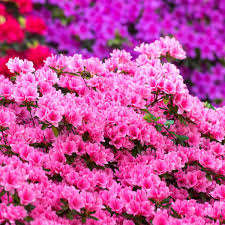 Azalea Size Chart Azalea Planting Advice And Care For This Spring Bloom