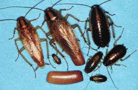 german cockroach control get rid of german roaches
